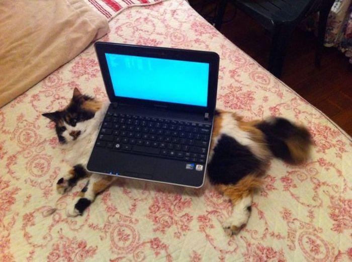 Ноутбук на кошке