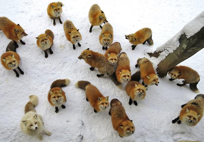 Лисы на снегу смотрят вверх
