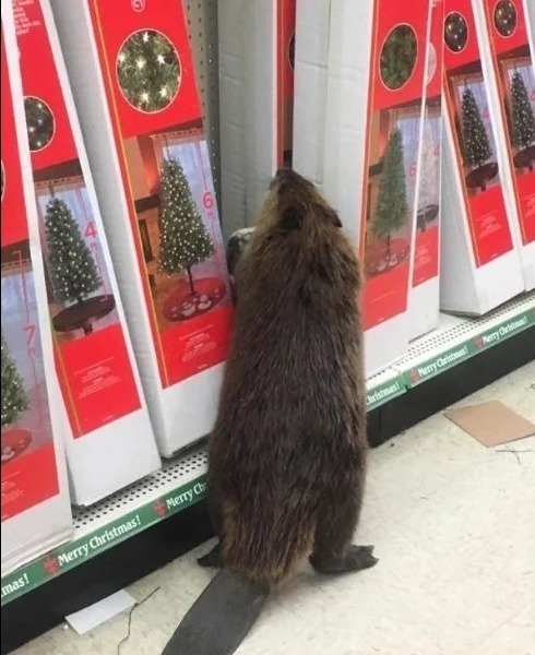 Бобер в магазине