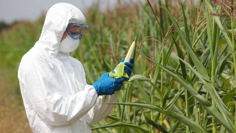 Сотрудник в форме изучает кукурузу
