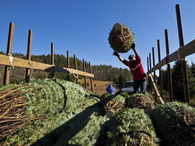 Мужчина бросает елки в загон