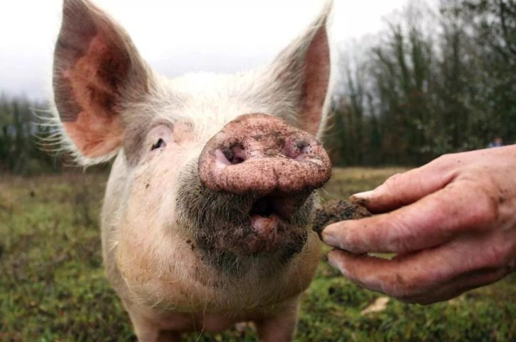Свинья нюхает трюфель